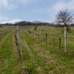 Weingarten in Purbach