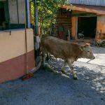 Die Kühe am Dichtlhof werden täglich aus dem Stall auf die Weide gelassen