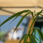 Hanfpflanze am Naturhof Schranz