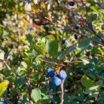 Wildwachsende Heidelbeeren im Montafon